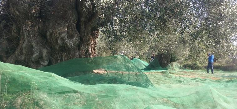 Aceite farga de olivos milenarios de 0.02 décimas y un afrutado de  4.5