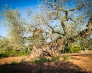 Recogiendo olivos milenarios
