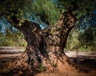 el olivo traiguera